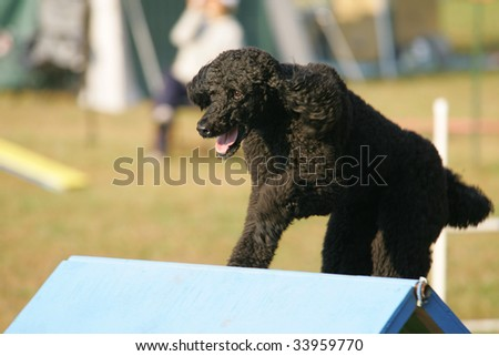 Agility dog clears A-Frame in Competition - stock photo