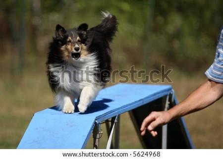 Agility Dog -- Elevated Walk - stock photo