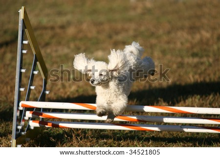 Agility Dog Jumping Bars - stock photo