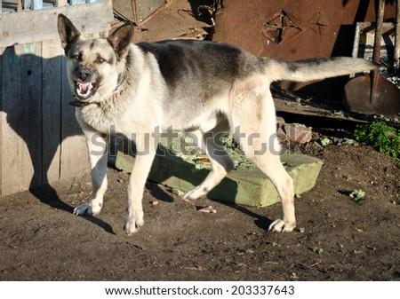 agressive dog - stock photo