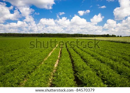 agricultural field, where the rows of carrots grown - stock photo