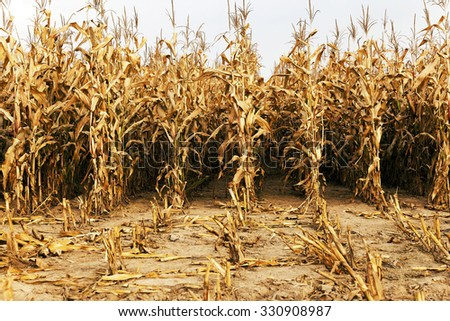 agricultural field with corn  - stock photo