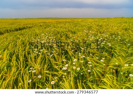 agricultural field with wildflowers - stock photo