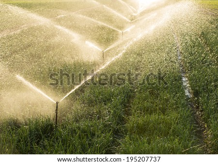 Agricultural irrigation of onion field at sunset - stock photo