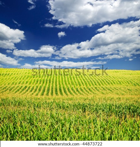 Agricultural landscape of corn field on small scale sustainable farm - stock photo