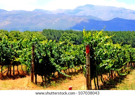 agricultural landscape with vineyard in province West Cape(South Africa) - stock photo