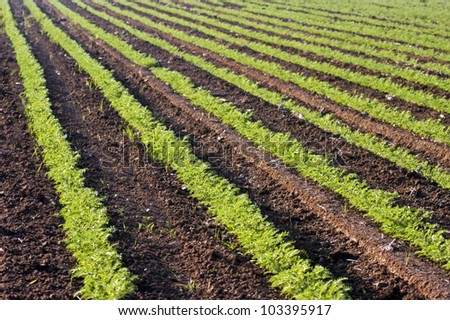 Agricultural Photos of Green Crops growing in a field - stock photo