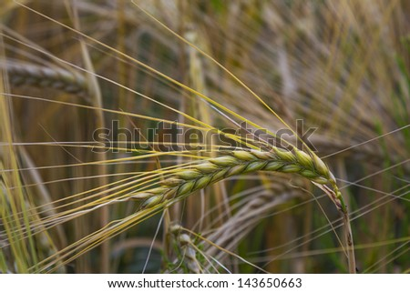 Agricultural plant in the fields during summer - stock photo