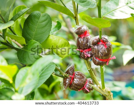 agricultural technique of grafting green lemon branches - stock photo