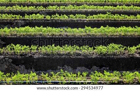 Agriculture, carrot field in early summer, rows of plant - stock photo