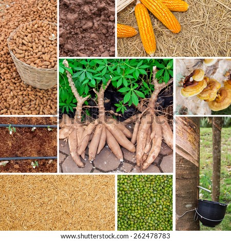 Agriculture collage, cassava, rice paddy, corn, lacquered, green beans, rubber trees, ground nuts - stock photo