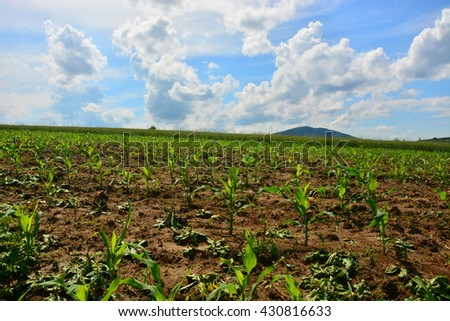 agriculture corn field  - stock photo