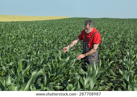 Agriculture, farmer  inspect quality of corn in field, late spring or early summer - stock photo