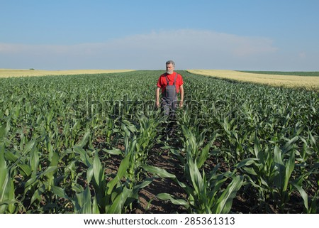 Agriculture, farmer  inspect quality of corn in late spring or early summer - stock photo