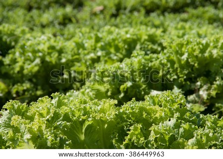 Agriculture: huge field of green lettuce in summer. - stock photo