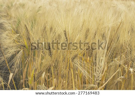 Agriculture industrial , barley grain wheat field - stock photo