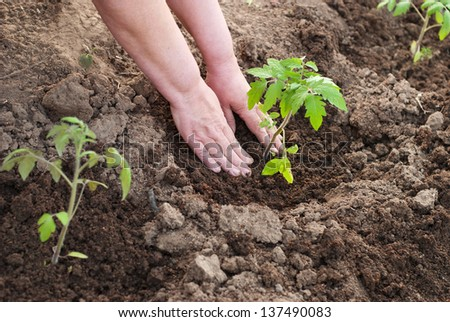 Agriculture. planting tomatoes - stock photo