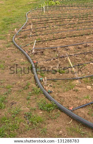 Agroecological plantation with drip irrigation - stock photo