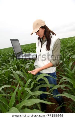 Agronomist examining plant in corn field - stock photo