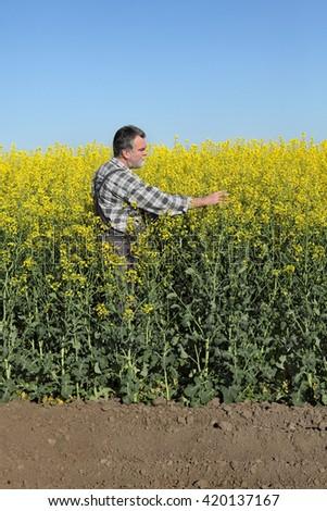 Agronomist or farmer examine blooming canola plant field, oil seed rape - stock photo