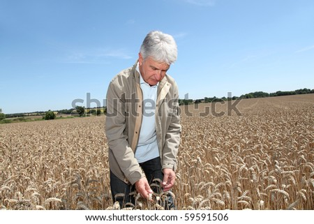 Agronomist working in wheat field in summer season - stock photo