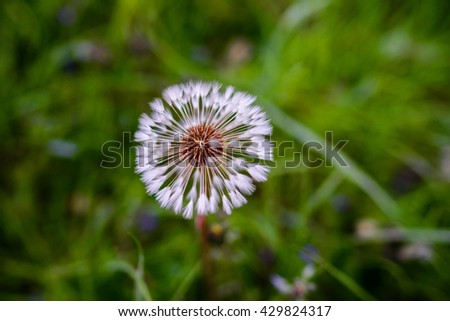 Air dandelions on a green field. Spring background - stock photo