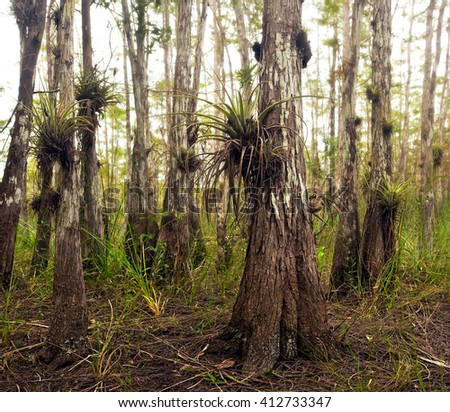 Air Plant Epiphytes on Cypress Trees in Florida Everglades - stock photo