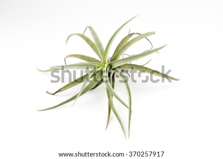 air plant Tillandsia isolated white background - stock photo