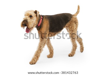 Airedale Terrier breed dog walking to the side over a white background - stock photo