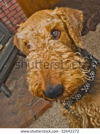 Airedale terrier dog close up head shot indoors - stock photo