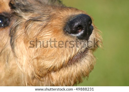 Airedale Terrier Puppy nose - stock photo