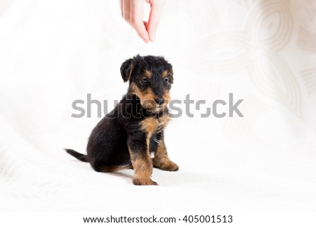 Airedale terrier puppy posing  - stock photo