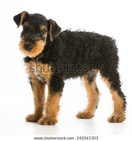 airedale terrier puppy standing on white background - stock photo