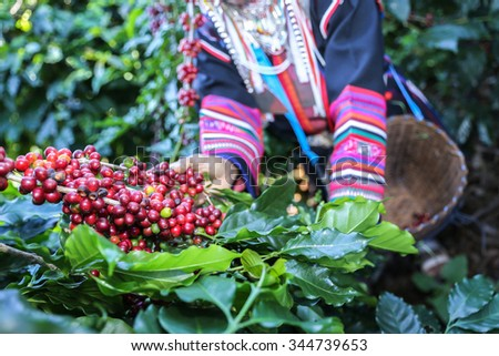 Akha woman picking red coffee beans on bouquet on tree - stock photo