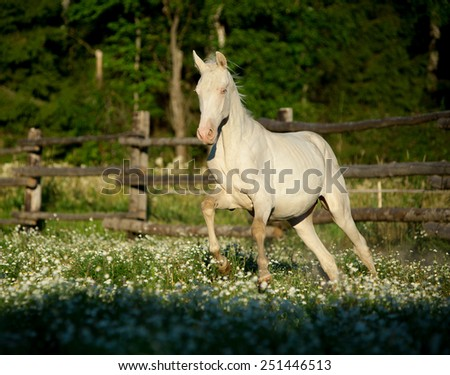 Akhal-teke horse galloping at the field with flowers - stock photo