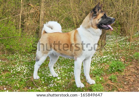 Akita dog stand in a forest - stock photo