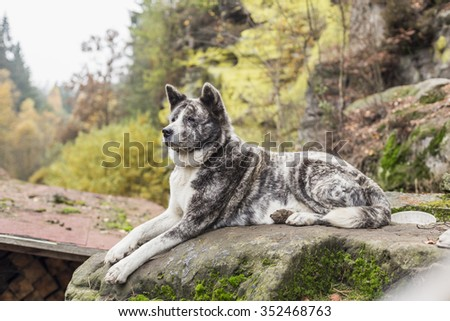 Akita inu dog portrait in nature - stock photo