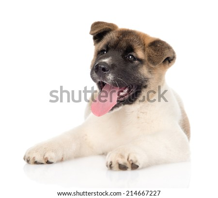 akita inu puppy dog looking at camera. isolated on white background - stock photo