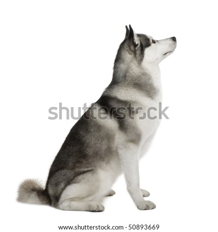 Akita Inu, 3 years old, sitting in front of white background - stock photo