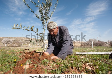 AL KHADER, PALESTINIAN TERRITORY - FEBRUARY 10: A Palestinian farmer plants olive tree seedlings in the Ein El Qassis area of Al Khader village, West Bank, February 10, 2013. - stock photo