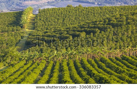 ALAJUELA, COSTA RICA - MARCH 23, 2005: Coffee plantation, on fertile slopes of Poas Volcano in the Central Highlands. High-yield arabica hybrid coffee bushes produce gourmet coffee for export. - stock photo