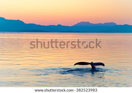 Alaska Whale Tail Sunset - stock photo