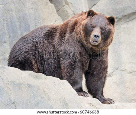 Alaskan brown bear (grizzly) - stock photo