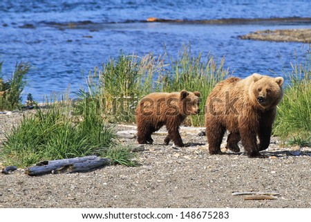 Alaskan Brown Bear - Ursus arctos - stock photo