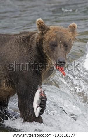 Alaskan Brown Bear with a fresh catch of salmon in Katmai National Park - stock photo