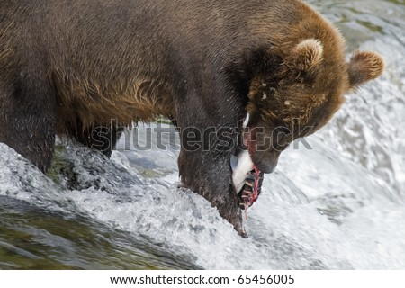 Alaskan Brown Bear with a fresh catch of salmon in Katmai National Park - stock photo