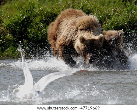 Alaskan Grizzly bear mother teaching her young cub to catch fish - stock photo