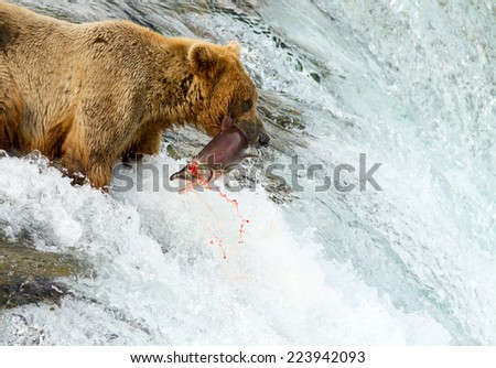 Alaskan Grizzly catching salmon - stock photo