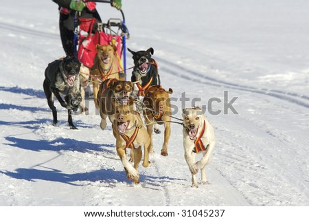 alaskan huskys running at sled dog race with wild eyes and open mouth - stock photo