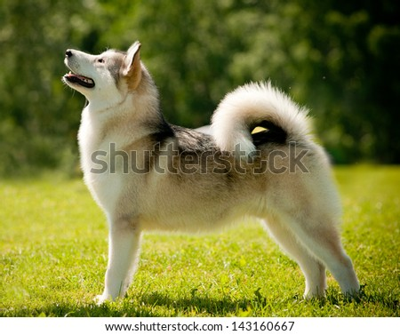 Alaskan Malamute - stock photo